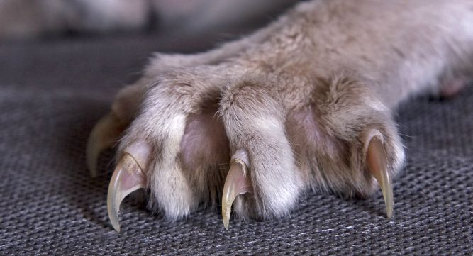 griffes saillantes d'une patte de chat.