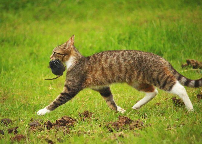 Chasseur, le chat court avec une souris dans sans gueule.