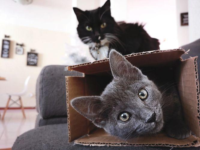 Les chats s'adaptent à nos appartements, canapés, boîtes en carton.