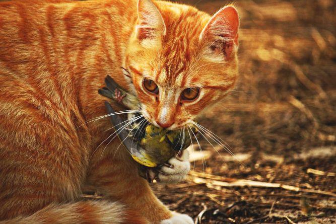 Chasseur carnivore, le chat tient un oiseau avec ses dents et ses griffes.