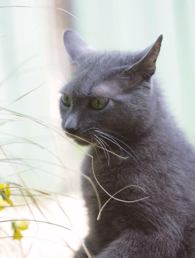 Le chat aime mâchouiller les brins d'herbe.