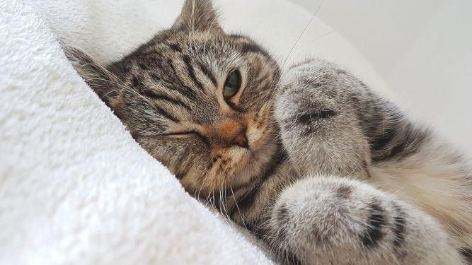 Le chat a besoin de routines telles que les siestes à heures fixes.